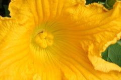 Fiore di una zucca Fotografie Stock