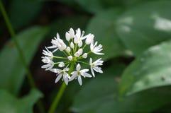 Fiore di ursinum dell'allium Fotografie Stock Libere da Diritti