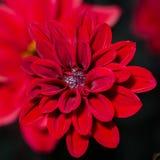 Fiore di velluto Fotografie Stock