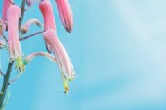 Fiore di vera dell'aloe che fiorisce con il cielo blu luminoso Fotografie Stock
