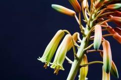 Fiore di vera dell'aloe con i dettagli Immagini Stock