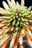 Fiore di vera dell'aloe con i dettagli Fotografie Stock