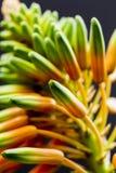 Fiore di vera dell'aloe con i dettagli Fotografia Stock Libera da Diritti