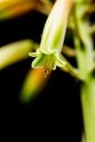 Fiore di vera dell'aloe con i dettagli Immagini Stock Libere da Diritti