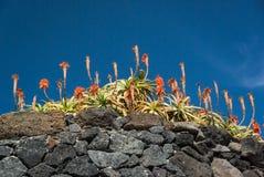 Fiore di Vera dell'aloe con il fondo del cielo Fotografia Stock