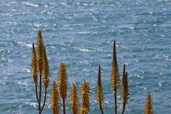 Fiore di vera dell'aloe davanti all'oceano profondo-blu Immagine Stock