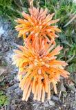 Fiore di vera dell'aloe nella montagna Immagine Stock Libera da Diritti