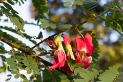 Fiore di verdure di rosso dell'uccello di ronzio Fotografie Stock Libere da Diritti