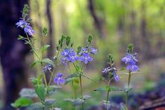 Fiore di veronica maggiore Fotografie Stock