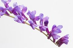 Fiore di vicia cracca su fondo bianco, primo piano fotografia stock libera da diritti