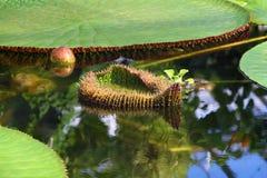 Fiore di Victoria Amazonica Fotografia Stock