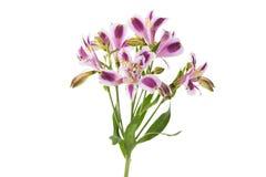 Fiore di Violet Alstroemeria Immagini Stock