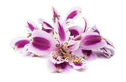 Fiore di Violet Alstroemeria Fotografie Stock Libere da Diritti