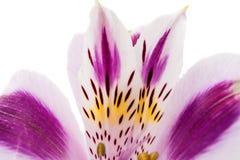 Fiore di Violet Alstroemeria Fotografia Stock