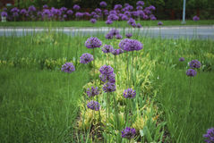 Fiore 'di Violet Beauty' di stipitatum dell'allium Immagini Stock