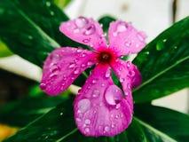 Fiore di Violet Watercress del primo piano Fotografia Stock Libera da Diritti