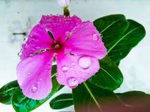 Fiore di Violet Watercress del primo piano Fotografie Stock Libere da Diritti