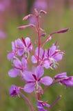 Fiore di willow-herb Fotografie Stock Libere da Diritti