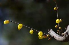 Fiore di Wintersweet fotografia stock libera da diritti