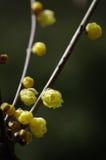 Fiore di Wintersweet fotografie stock