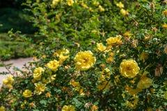 Fiore di Yelllow nel giardino di Madrid Immagine Stock