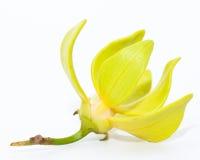 Fiore di ylang ylang Fotografia Stock