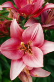 Fiore di zephyranthes I nomi comuni per le specie in questo genere includono il giglio, il rainflower, lo zefiro, la magia, Atama Fotografia Stock