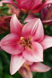 Fiore di zephyranthes I nomi comuni per le specie in questo genere includono il giglio, il rainflower, lo zefiro, la magia, Atama Fotografia Stock Libera da Diritti