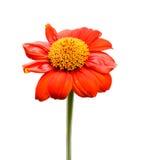 Fiore di Zinia Immagini Stock