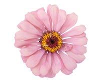 Fiore di Zinnia Immagini Stock