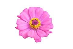 Fiore di zinnia Immagine Stock Libera da Diritti