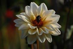 Fiore di zinnia bianca con il bombo Fotografia Stock Libera da Diritti