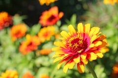 Fiore di zinnia della fiamma di giallo di Zowie Fotografia Stock