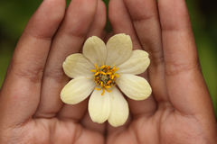 Fiore di zinnia a disposizione Immagine Stock Libera da Diritti