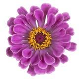 Fiore di zinnia isolato fotografia stock libera da diritti