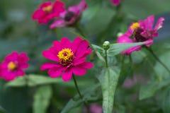 Fiore di zinnia nel giardino fotografia stock
