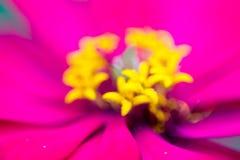 Fiore di zinnia nel giardino fotografie stock