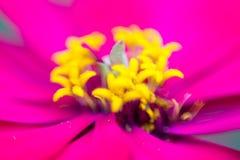 Fiore di zinnia nel giardino fotografie stock libere da diritti