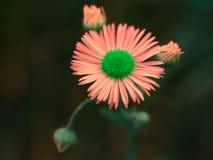Fiore differente della margherita Fotografie Stock Libere da Diritti