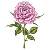 Fiore disegnato a mano della rosa di rosa isolato su fondo bianco Illustrazione botanica Fotografia Stock Libera da Diritti