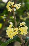 Fiore dolce di osmanto Fotografie Stock Libere da Diritti