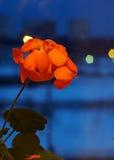 Fiore domestico Immagini Stock