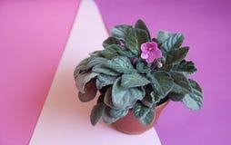 Fiore domestico viola Fotografia Stock Libera da Diritti