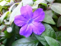 Fiore domestico viola fotografia stock