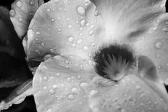 Fiore dopo pioggia fotografie stock libere da diritti