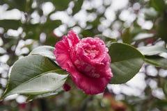 Fiore dopo pioggia Immagini Stock Libere da Diritti