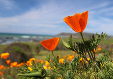 Fiore dorato del papavero di California, costa di Big Sur, California Fotografia Stock Libera da Diritti
