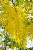 Fiore dorato dell'acquazzone Immagine Stock Libera da Diritti
