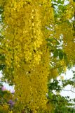 Fiore dorato dell'acquazzone Fotografia Stock