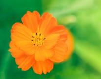 Fiore dorato dell'universo Fotografia Stock Libera da Diritti